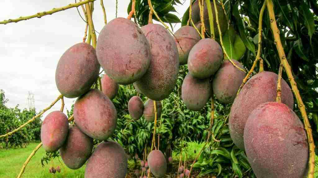 Benefits and Disadvantages of Mango